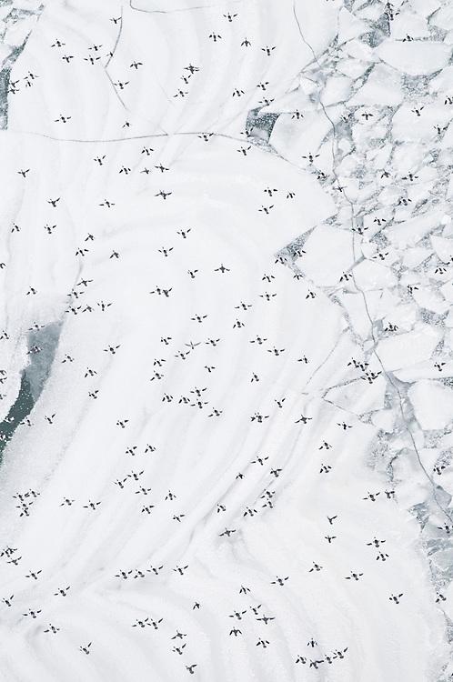 Common Mergansers, Mergus merganser, Lake Erie, Michigan