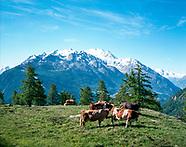 Fighting Cow in Valais / Combats de Reine en Valais