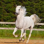 20170802 Arabian Horse Takeheart