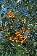SEA BUCKTHORN (Hippophae rhamnodes) Height to 10m. Branched, dense, thorny shrub. Native to stabilised coastal sand dunes but also widely planted. Flowers are tiny, greenish; male and female flowers on separate plants (Mar-Apr). Bright orange berries (on female plants only). Leaves narrow, greyish green. Native to E coast but planted elsewhere.