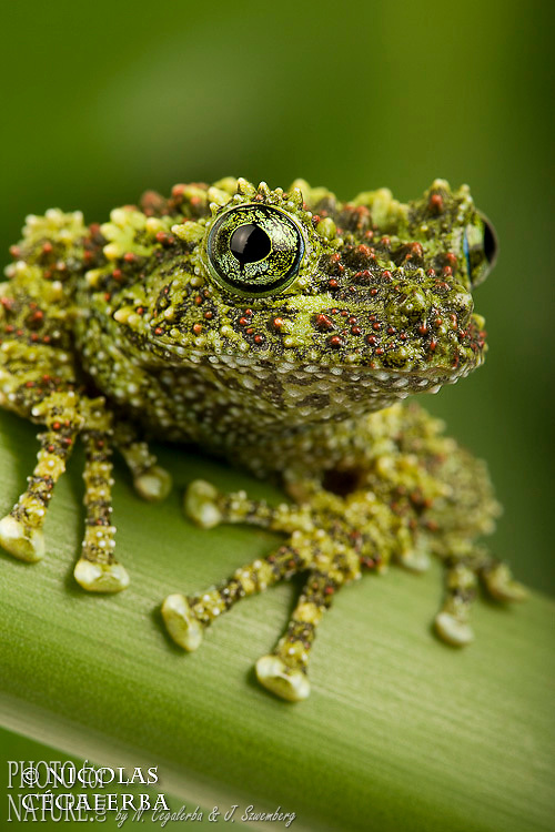 VIETANMESE MOSSY FROG (Theloderma corticale)