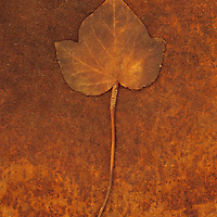 Close up of brown autumn or winter leaf of Ivy or Hedera helix lying on rusty metal sheet