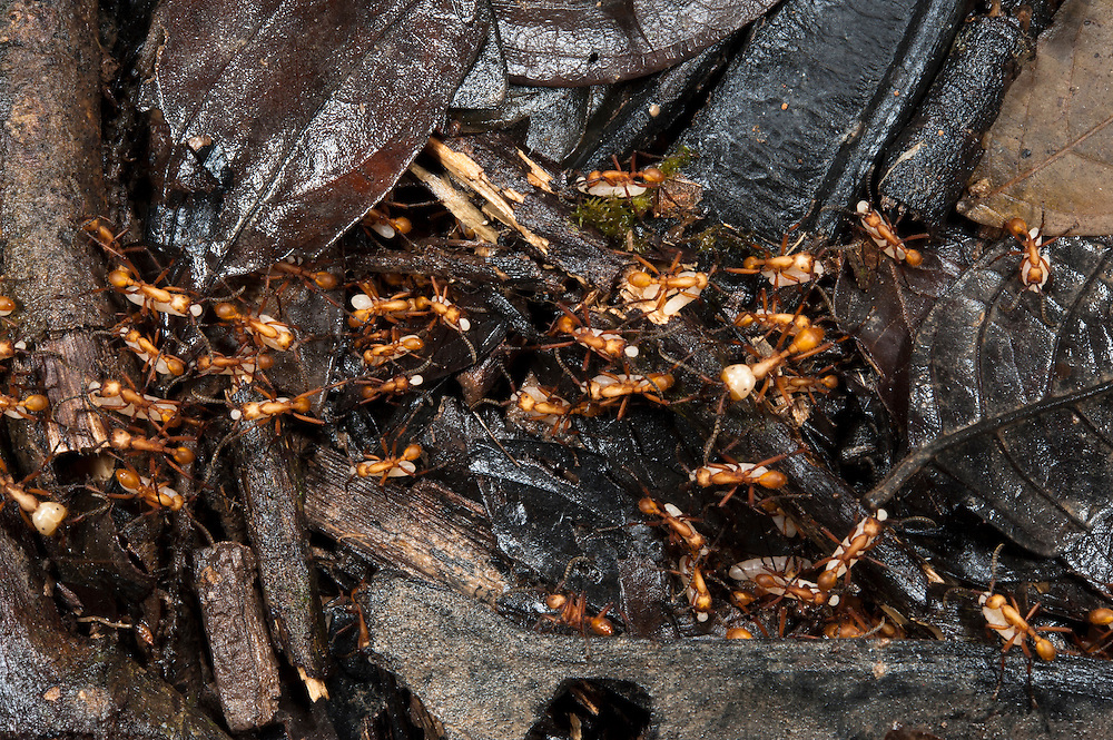 Army Ants carrying lavae (eciton sp)<br /> Yasuni National Park, Amazon Rainforest<br /> ECUADOR. South America