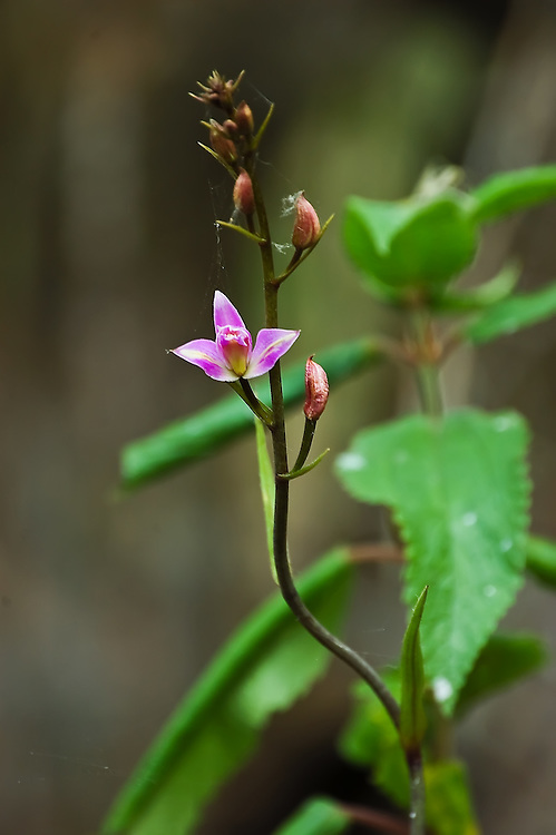 Pine-pink orchid growing out of a floating log deep in the Fakahatchee Strand. They are almost always seen in large colonies and are truly one of the most beautiful terrestrial swamp orchids that can be found in southern Florida.