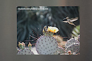Photo magnet with amazing hummingbird and lizard print, yellow cactus flower, desert landscape, Santa Monica, California, home art, fridge art, Los Angles, Southern CA.