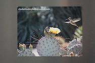 Photo magnet with amazing hummingbird and lizard print, yellow cactus flower, desert landscape, Santa Monica, California, home art, fridge art, Los Angles, Southern CA.