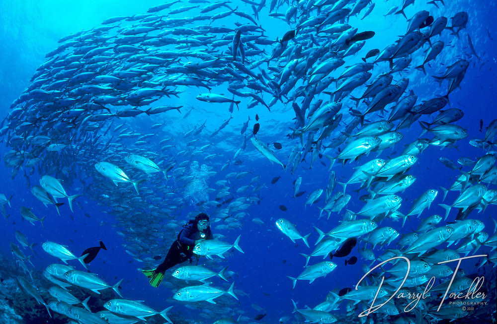 Thousands of big eye jacks, drift about on top of a pinnacle in Papua New Guinea.
