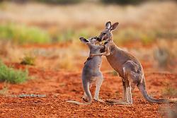 A female and joey red kangaroo (Macropus rufus) affectionately touching and kissing,  Sturt Stony Desert,  Australia