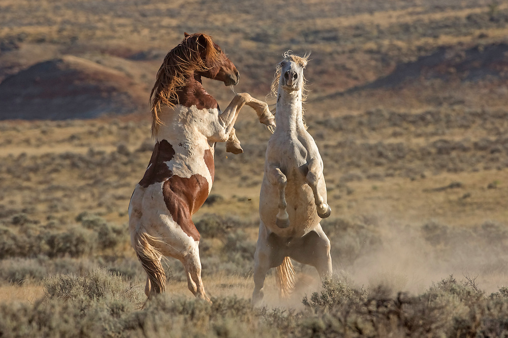 Although they've been herdmates for years, the peaceful grazing of bachelor stallions, Garth and Bridger, often erupts in some serious horseplay, especially when mares near.