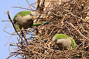 A feral population of Monk Parakeet, also known as the Quaker Parrot, (Myiopsitta monachus) Originally from south America these birds have escaped from breeders and house cages and formed self sustaining colonies. Photographed in Israel