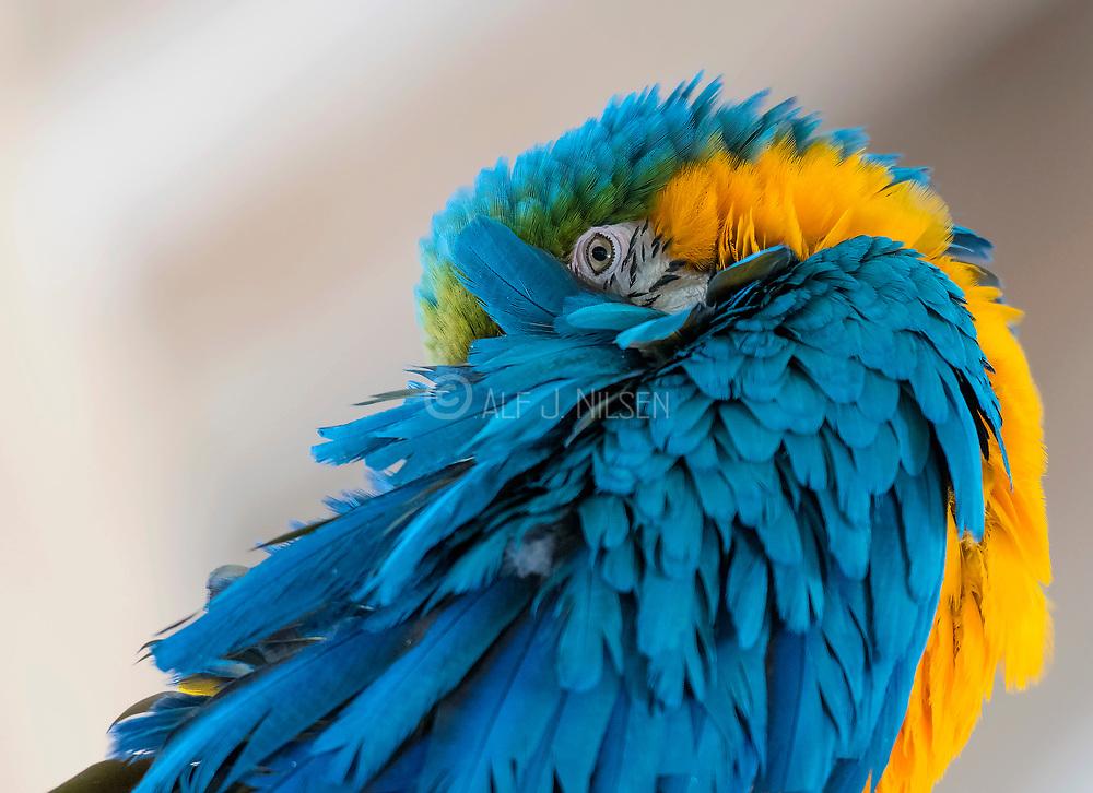Eye contact with the blue-and-yellow Macaw (Ara ararauna) in  Wildlife World Zoo, Phoenix, Arizona, USA