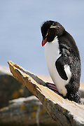 Rockhopper penguin resting on a rock with a steep diagonal face.