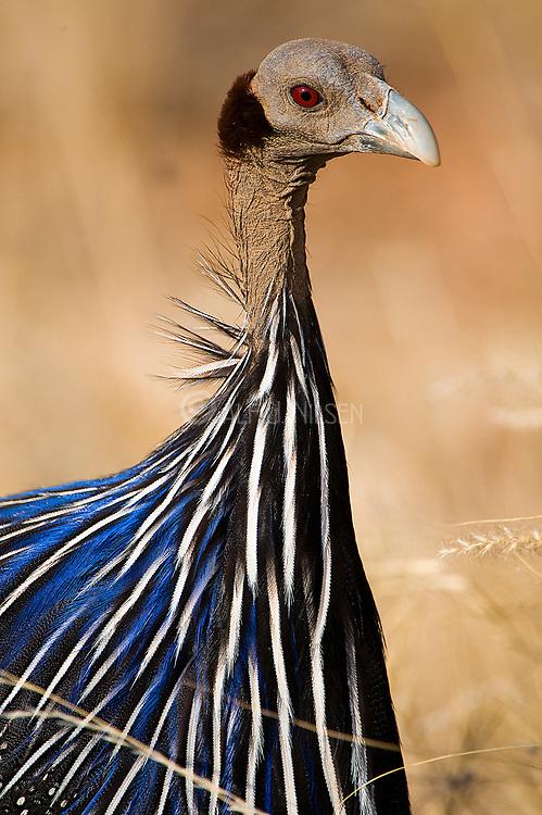 Vulturine Guineafowl, Acryllium vulturinum, from Samburu NP, Kenya.