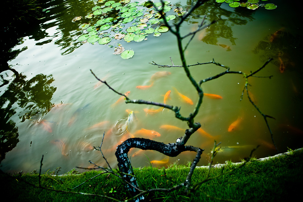 Goldfish in a small pond in Hanoi.