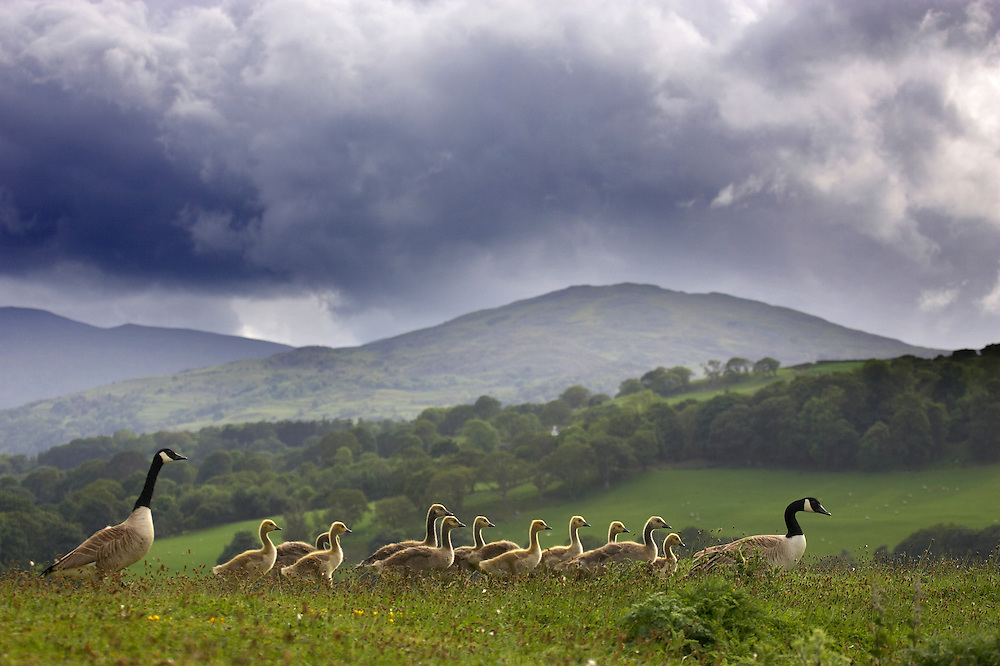 Canada geese with young against snowdonia mountains, Conwy RSPB reserve