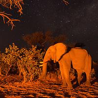 Africa, Botswana, Chobe National Park, African Elephant (Loxodonta africana) stands by firelight in Kalahari Desert at night in Savuti Marsh