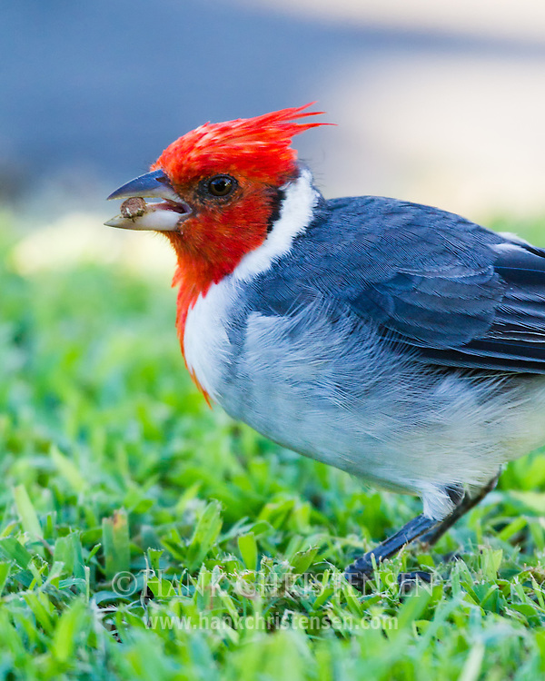 A red-crested cardinal pulls grass and seeds out of the ground