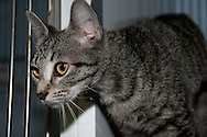 Domestic short hair cat available for adoption at Chemung County SPCA