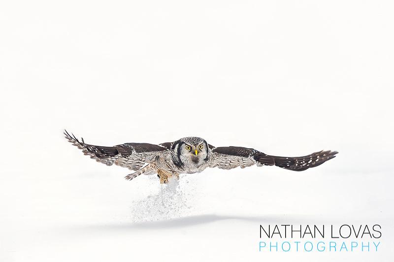 Northern Hawk Owl (Surnia ulula), adult in flight hunting in snow; Minnesota.