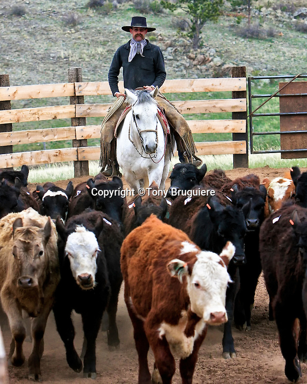 A Buckaroo moves through a herd of cattle during a Ranch Roping competition at Table Mountain Ranch in Colorado.