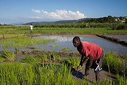 Maurice Guillome, 41, replants rice in a paddy that was destroyed during Hurricane Sandy,near Gwo Goave, a small town southwest of Port au Prince.   Hurricane Sandy brought heavy flooding to the region , destroyed crops and livestock and will seriously hinder farmers' abilities to grow food in the future.
