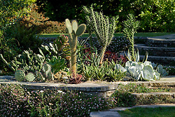 Cacti and succulents planted outside for the summer in a bed on the circular steps at Great Dixter. Erigeron karvinskianus syn E. mucronatus, Mexican daisies growing in the walls.