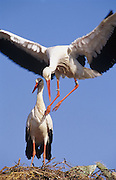 White Stork (Ciconia ciconia).  Pair on nest. Andalucia, Spain.