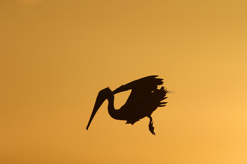 A pelican dives for food at the sunset on Tamarindo beach, in Costa Rica