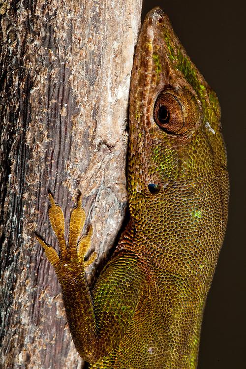 Hispaniola green anole, Anolis clorocyanus, on Ile de La Gonave, Haiti