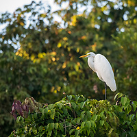 A lone great egret (Ardea alba) in the trees along Nauta Caño off of the Marañon River. Pacaya Samiria National Reserve, Upper Amazon, Peru.