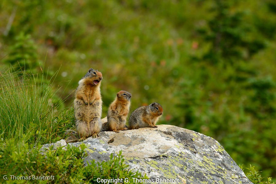 The mother ground squirrel was scolding me as I stood in the trail. It looked like the young didn't understand why mum was upset.