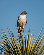 RED-TAILED HAWK: BEHAVIOR AND DIVERSITY