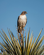 Red-tailed hawk adult perched on old flower stalk of yucca. This individual bird is distinguished by having no hint of a belly band that is commonly seen in the highly varied plumage of the species. © 2007 David A. Ponton