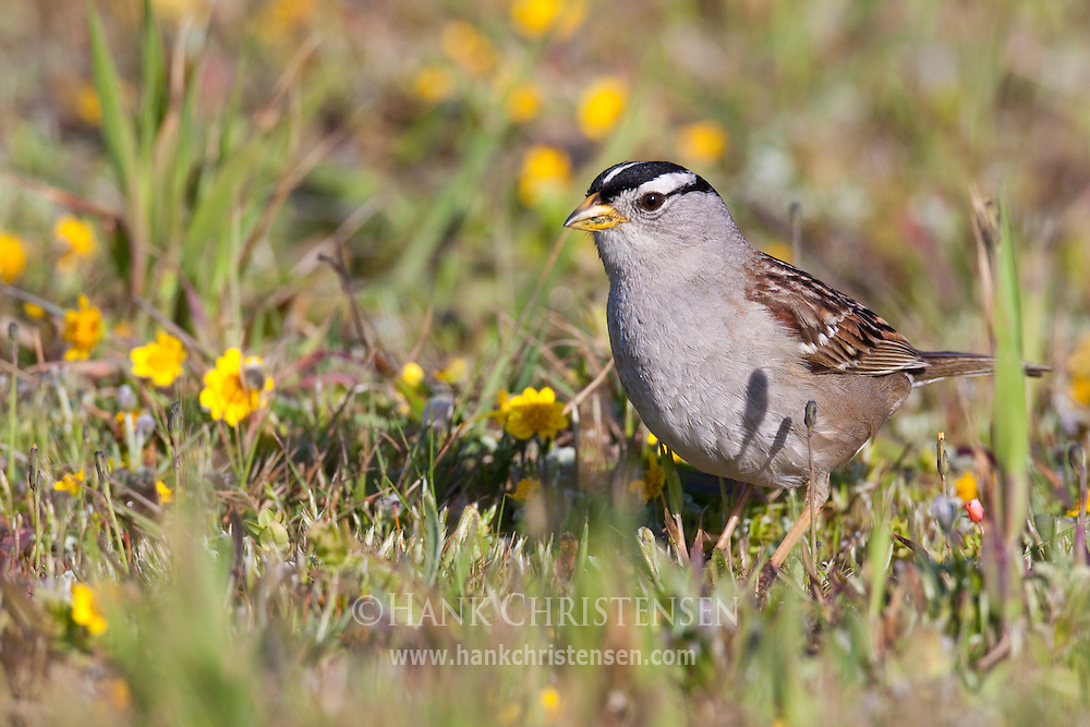A white-crowned sparrow forages through fields of wildflowers, Salt Point State Park, California