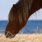 """Assateague Island National Park Reserve Collection<br /> Assateague Island is home to approximately 90 wild ponies. The horses are split into two main herds, one on the Virginia side and one on the Maryland side of Assateague. They are separated by a fence at the Virginia/Maryland State line. These herds have divided themselves into bands of two to twelve animals and each band occupies a home range. The National Park Service manages the Maryland herd. The Chincoteague Volunteer Fire Company owns and manages the Virginia herd, which is allowed to graze on Chincoteague National Wildlife Refuge, through a special use permit issued by the U.S. Fish and Wildlife Service. The permit restricts the size of the herd to approximately 150 adult animals in order to protect the other natural resources of the wildlife refuge. It is the Virginia herd which is often referred to as the """"Chincoteague"""" ponies.<br /> © Equus ferus- Wild Horse Photography ®<br /> """"Sharing wild horses with the world""""<br /> © Karen McLain Studio <br /> """"Go there, paint that"""" ®<br /> http://www.equusferus.com/<br /> http://www.karenmclain.com"""