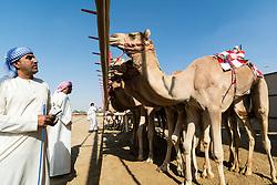 Starting gate at camel races at Dubai Camel Racing Club at Al Marmoum in Dubai United Arab Emirates