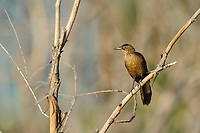 A female Great-tailed Grackle (Quiscalus mexicanus) perched on a tree branch, Jocotopec, Jalisco, Mexico
