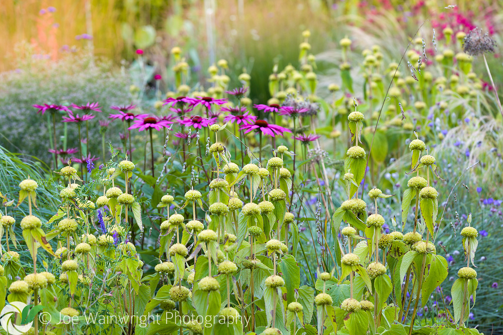 Herbaceous borders at Bluebell Cottage Gardens, Dutton, Cheshire, designed by Sue Beesley. Photographed in July. Planting includes Phlomis russeliana and Echinacea purpurea