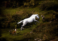 White horse attacked by dogs