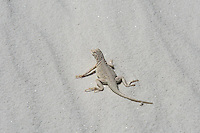 The infamous and rare, bleached earless lizard (Holbrookia maculata ruthveni) - a lizard with an evolutionary adaptation to living on the white gypsum sand dunes on White Sands (the largest gypsum sand dune desert in the world) found resting in the shade of an enormous dune late in the morning of a bright and sunny spring day.