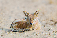 Black-backed Jackal, Kgalagadi Tranfrontier Park, Northern Cape, South Africa