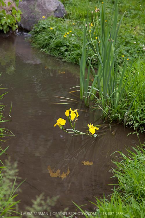 Yellow Flag Iris (Iris pseudoacorus)