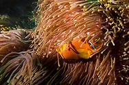 Blackfoot Anemonefish, Amphiprion nigripes, Regan, 1908, Maldives