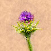 Digitally enhanced image Silybum eburneum Milk Thistle Photographed in Israel, Galilee