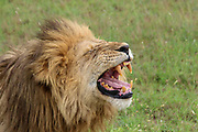Roaring male African lion. Photographed in Serengeti national Park, Tanzania