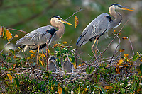 Great Blue Heron Ardea herodius on nest with two newly hatched chicks Wakodahatchee Wetlands Delray Beach Florida USA