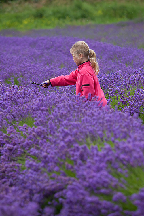 North America, United States, Washington, Sequim, girl cutting lavender in field at Lavender Festival, held annually each July.  MR