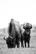 Two European bison (Bison bonasus) grazing in grassland