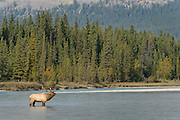 A Bull Elk (Cervus elaphus) stops midstream to bugle at a rival bull, Northern Rockies