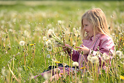 © Licensed to London News Pictures. 05/05/2014. Shepton Mallet , Somerset - 5 Year old Freya Burgess plays in fields of Dandelion seed heads. Photo credit : Jason Bryant/LNP